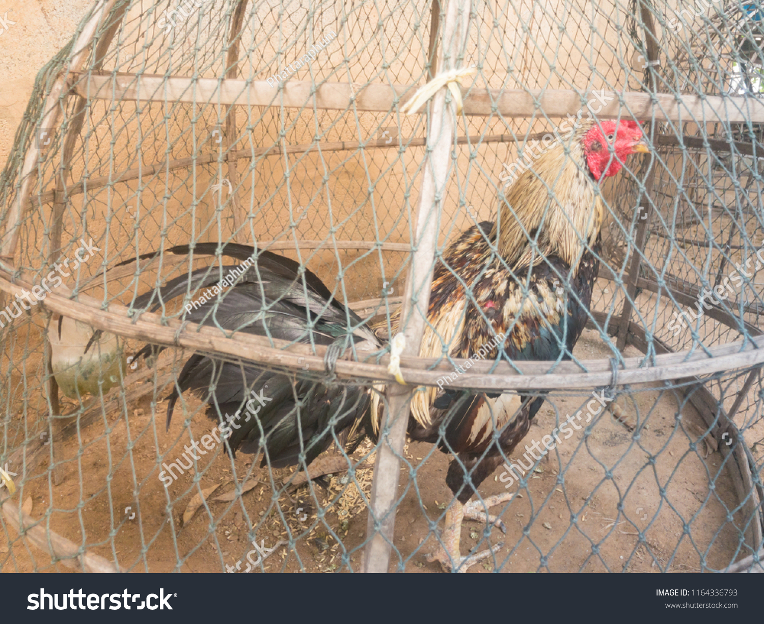 Cock to cock fencing