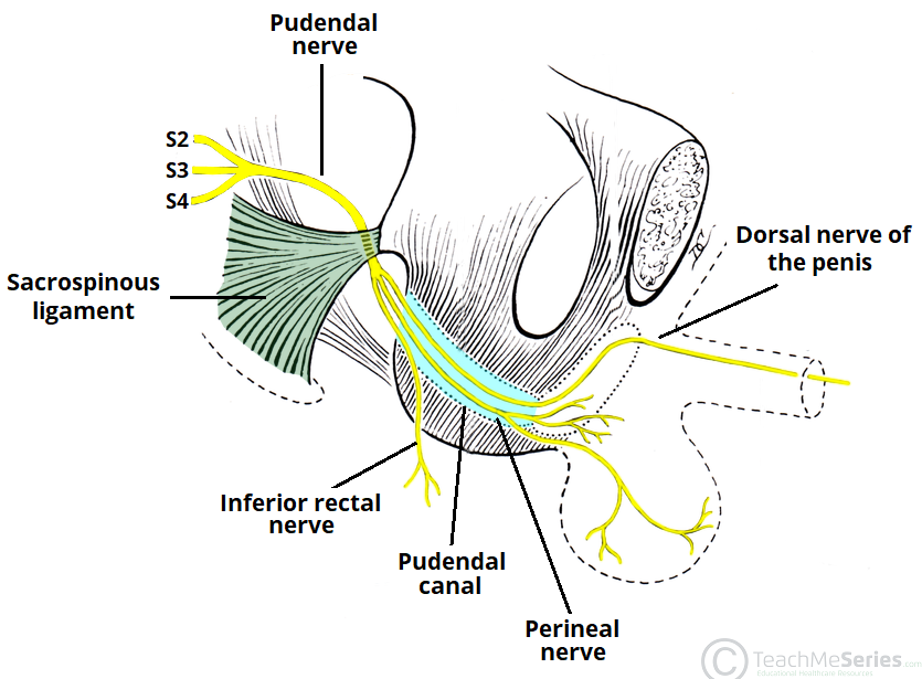Anal sphincter nerve pudendal