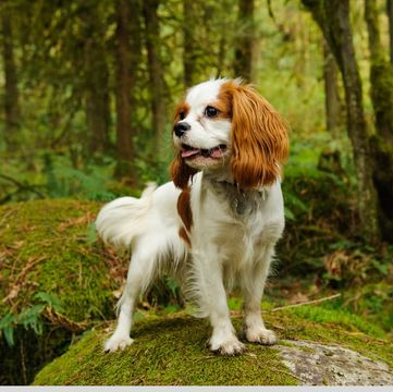 Adult cavalier king charles spaniel for sale